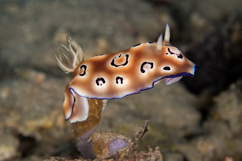 Chromodoris leopardus